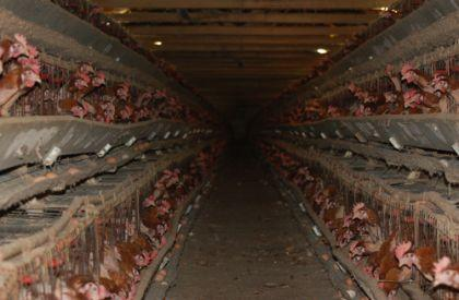 battery cages source - animals australia