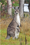 eastern-grey-kangaroo-with-joey-v0.1