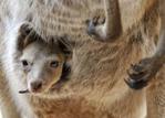 western-grey-kangaroo-with-joey-v0.1