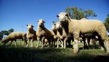 ac-sheep-main-20131031082640563454-620x349