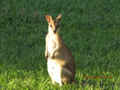 Wallaby BAWP1