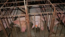An image of pigs in sow stalls in Australia taken by animal activists. Photo: Animals Australia. Read more: http://www.smh.com.au/environment/animals/us-judge-overturns-state-law-banning-secret-filming-of-animal-abuse-at-agricultural-facilities-20150805-girwny.html#ixzz3i1VkU2uc Follow us: @smh on Twitter | sydneymorningherald on Facebook