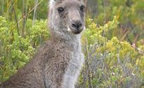 California rejects imports of Kangaroo products from Australia