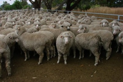 A group of sheep looking toward the camera