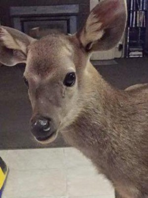 Orphan deer rescued by Andrew Foots
